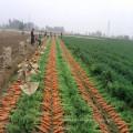 Zanahorias frescas de bebé de China en 2016