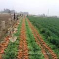 Baby Fresh Carrots From China in 2016