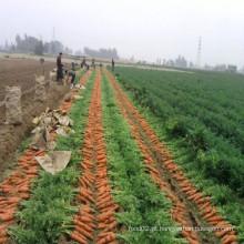 Cenouras frescas do bebê de China em 2016