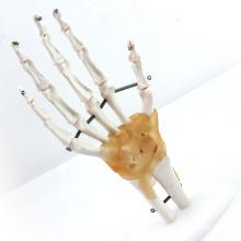 JOINT04 (12350) Articulación anatómica médica de tamaño natural con ligamentos Modelos anatómicos humanos, modelos de educación