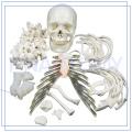 PNT-0100 full size Human Disarticulated Skeleton
