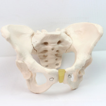 PELVIS03 (12340) Modèle Anatomique Médical Femelle Femelle Femelle, Modèles d'Anatomie> Modèles Mâle / Femelle