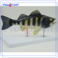 PNT-0822 Fish anatomical model,Fish dissection model