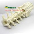 TF02 (12313) Modelo Educacional de Prática de Esqueleto de Sacro Lombar Ortopédico