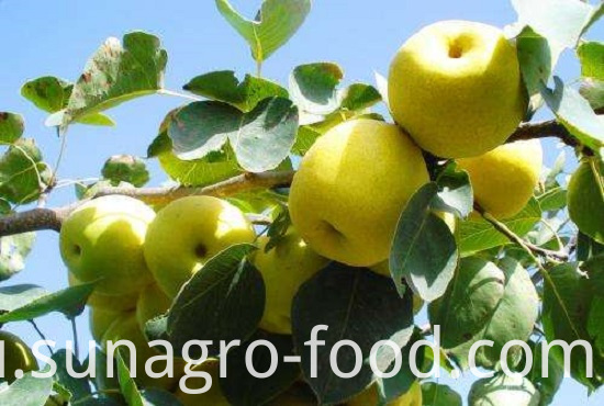 Provide Fresh Regular Snow Pear