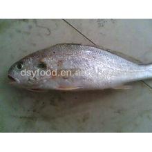 Silver Croaker Price