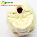 SKULL04 (12330) Medical Science 30 Weeks Fetal Skull Model , Anatomical Infant Skull Model