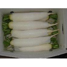 Radis doux blanc chinois