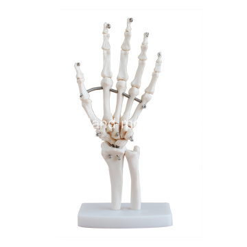 Life-Size Hand Joint Skelet Model