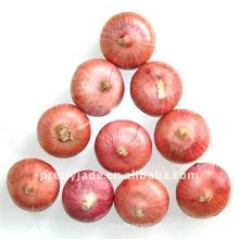 Nova cebola fresca da colheita