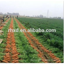 Supply fresh carrot with high quality for sale