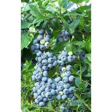 IQF congelación orgánica Blueberry Zl-100007
