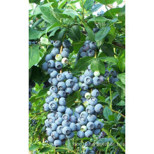IQF Freezing Organic Blueberry Zl-100007