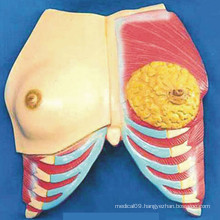 Human Breast Anatomy Model with Muscle and Ribs (R150102)