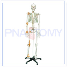 PNT-0104 180cm and 175cm Adult Skeleton and skull Model