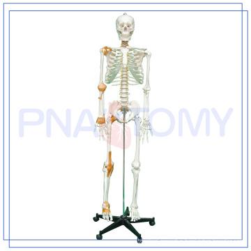PNT-0104 180cm and 175cm Adult Skeleton and skull Model