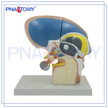 PNT-0620 3x Life Size 4 pièces modèle de Diencephalon, école de modèles de cerveau utilisés