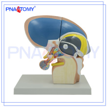 PNT-0620 3x Life Size 4 Peças Diencephalon Model, Brain Models school used