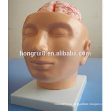 Cerebro humano de la ISO con las arterias en modelo de la cabeza, modelo de la anatomía del cerebro