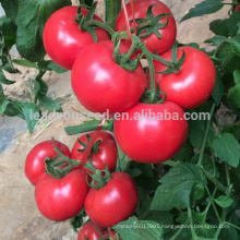 T32 Meite f1 hybrid greenhouse determinate tomato seeds, chinese vegetable seeds