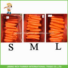 Shandong New Crop Fresh Cenoura S / M / L Tamanho
