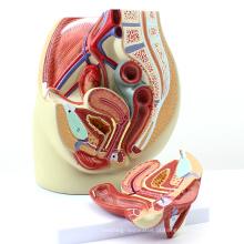 ANATOMY02 (12440) Tamanho da vida feminino seção anatômica modelo da pelve, 3part, modelos de anatomia> masculino / feminino modelos> modelos femininos