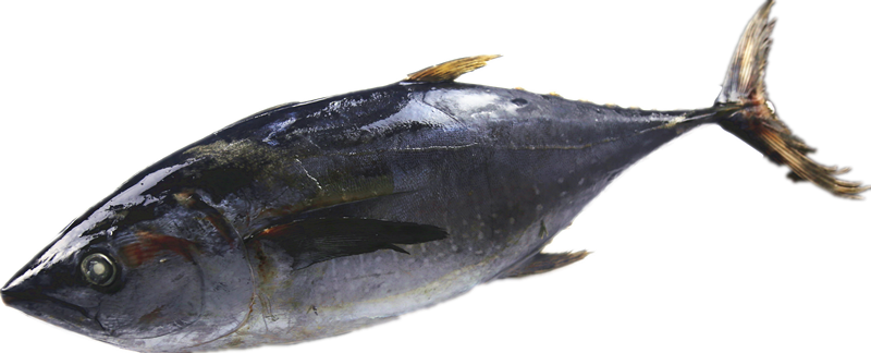 Whole Sale Frozen Tuna Fish