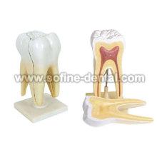 Modelo de dentes humanos