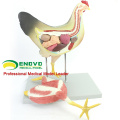 A28(12009) Veterinary Anatomical Hens Model 12009