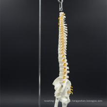 Larga vida útil de la columna vertebral anatómica