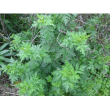 High Natural Ratio Artemisia Annua Extract