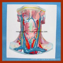 Vivid Human Anatomy Neck Embalagem Demonstração Modelo