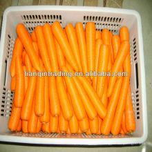 nouvelle récolte de carottes fraîches