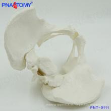 PNT-0111 Modelo de enseñanza médica de la pelvis esquelética masculina