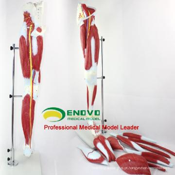 MUSCLE04 (12026) Partes de Músculos da Perna com os Principais Vasos e Nervos (Modelo Anatômico) 12026