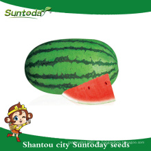 Suntoday oblonga pista verde híbrido vegetal F1 Orgánica sandía roja carmesí dulce semillas plantador criador sudán