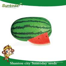 Suntoday oblong vert patin légume hybride F1 Organique rouge pastèque cramoisi graines douces planteur soudan