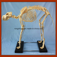 Medical Teaching Big Dog Skeleton Model