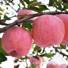 Shanxi Province Red Apple