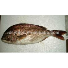Schwarzer Seabream Fisch