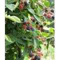 Zl-1046 Anic Blackberry Zl-1046 1