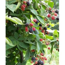 Zl-1046 Anic Blackberry Zl-1046 38
