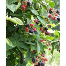 Zl-1046 Anic Blackberry Zl-1046 18
