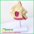 THROAT06(12512) Anatomy Nasal Cavity Model , Nose Model , Nasal Cavity Model