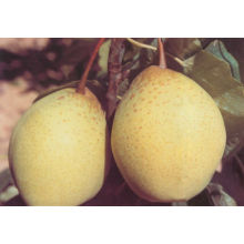 Chinese High Quality Ya Pear