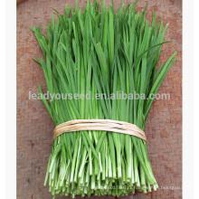 LE01 Guanglian large feuille vert ciboulette chinoise graines