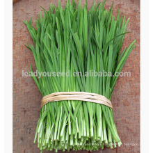 LE01 Guanglian wide leaf green Chinese chives seeds