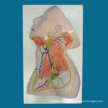 Modelo de anatomia médica do nervo superficial e vascular do pescoço humano (R050120)