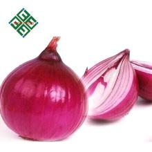 venda quente real nova cebola fresca