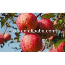 rojo fresco Gala Apple / Royal gala apple exportador